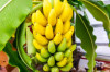 Thumbnail of Benefits Of Bananas