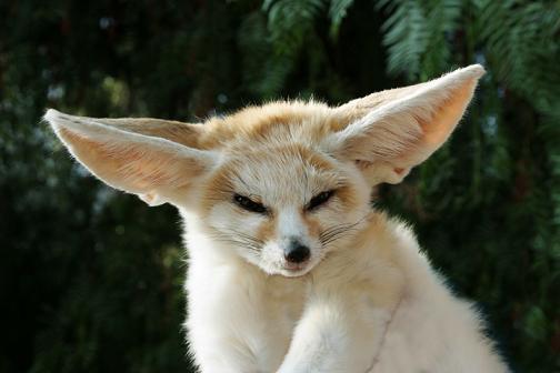 Exotic Live Pets for Sale - Fennec Foxes