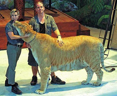 Hercules World's Biggest Cat
