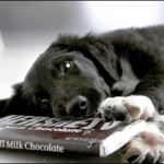 dogs eating chocolate