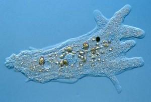 amoeba home remedies